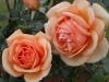 Garden Flowers 20