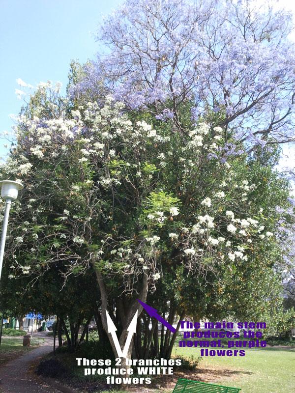 The strangest Jacaranda tree ever!